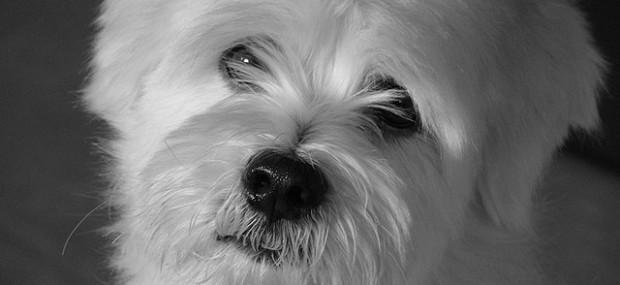 Singapore Dog